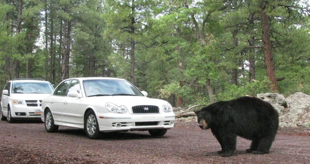 Black bear in front of two white cars