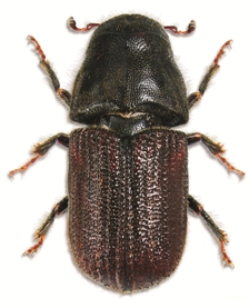 Big mountain pine beetle