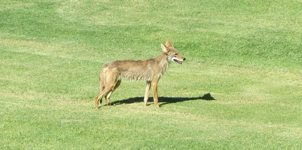 Coyote on golf course