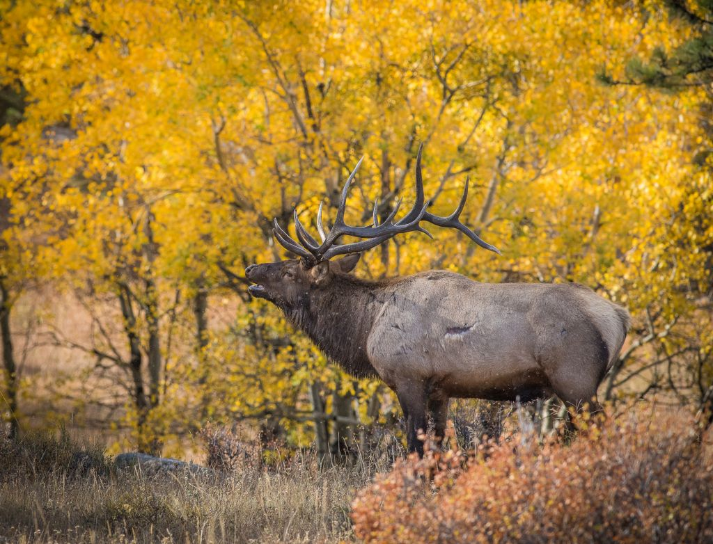 Elk in Fall