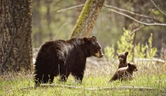 Mama Black Bear With her new cubs playing in the forest in Yellowstone National Park.