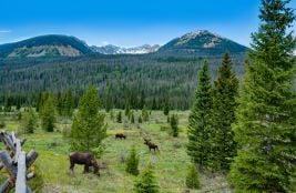 Bull moose grazing on summer day in the mountains. A bull moose walking in Rocky Mountain National Park, Estes Park, Colorado, USA