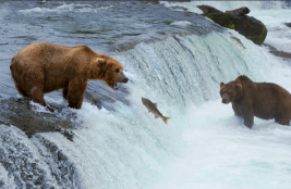 A bear opens its mouth as a salmon jumps out of the river