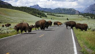 Bison crossing the road in Lamar Valley