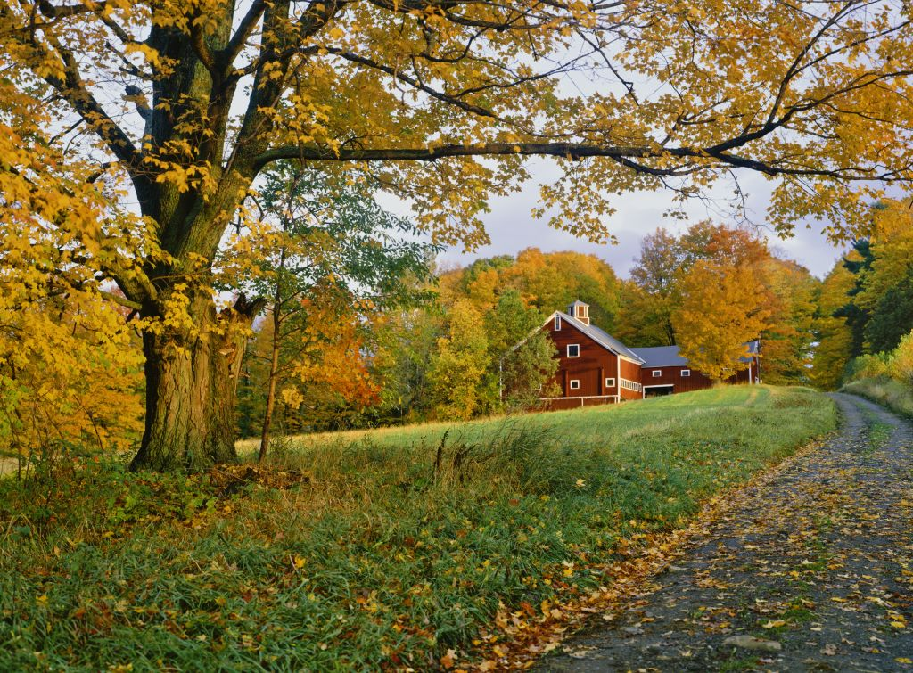 Vermont country side of with autumn sugar maple with rustic barn